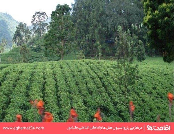 باغ چای عباس آباد