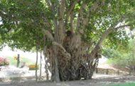 درخت لور (انجیر معابد)