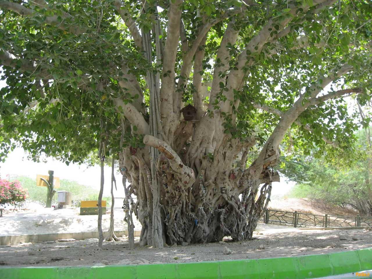 درخت لور در قشم