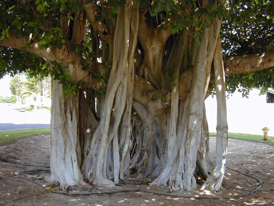 درخت لور در جزیره قشم