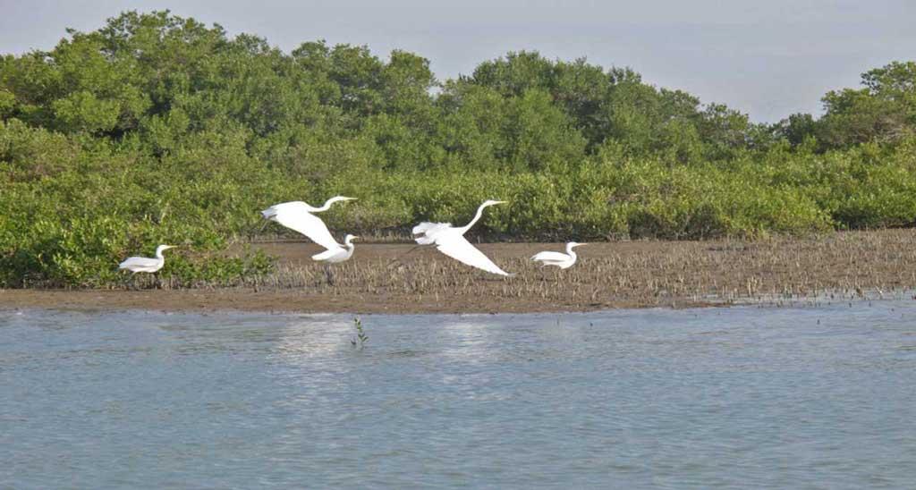 پرندگان در جنگل های مانگرو