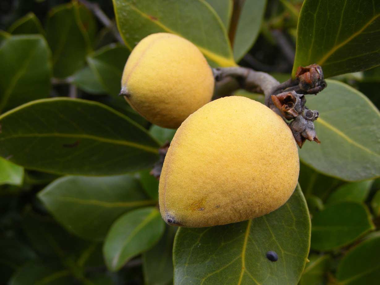 میوه های درختان جنگل حرا