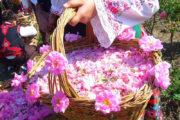 فصل گلابگیری و عطر بهشت در قمصر و کاشان