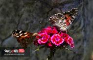 هجوم پروانه ها