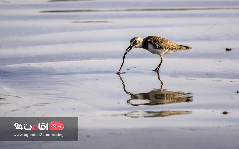 پرندگان مهاجر ساحل مکران