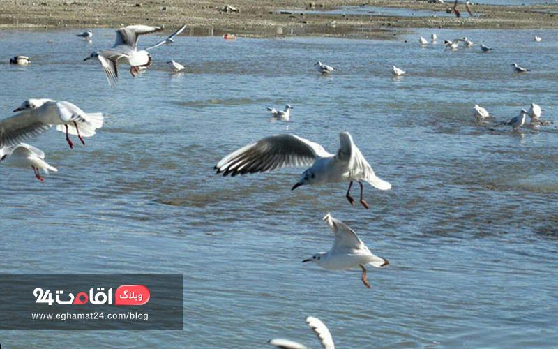 پرندگان تالاب آقگل