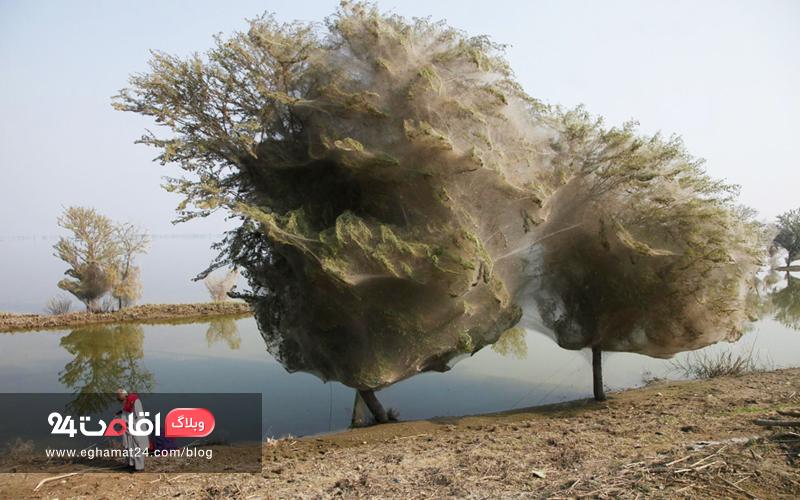 Cocoon Trees - تصاویر طبیعت