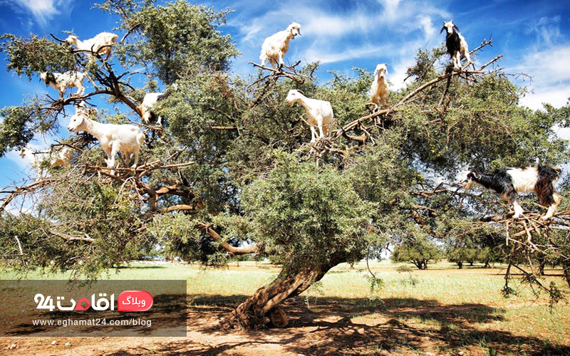Goats in Argan Trees - عکس های طبیعت