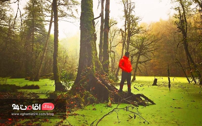 درختان سر به فلک کشیده کلاردشت دیوک